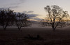 Oaks and ground fog at dawn, Tassajara Valley